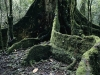 Giant fig tree roots in Kakamega Forest, Kenya