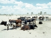 Ovambo cattle have grazed away the  grass roots and are a  major cause of desertification
